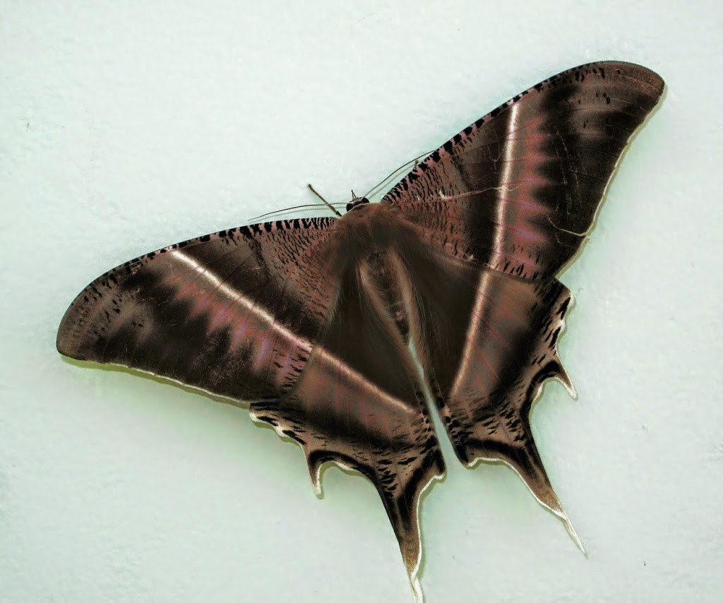 Lyssa Zampa Laos Brown Butterfly