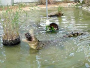 Chicken Eating Crocodiles at Dundee's Wildlife Park
