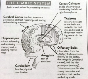 Keep Your Brain Alive Limbic System